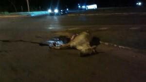 Animal morto na pista